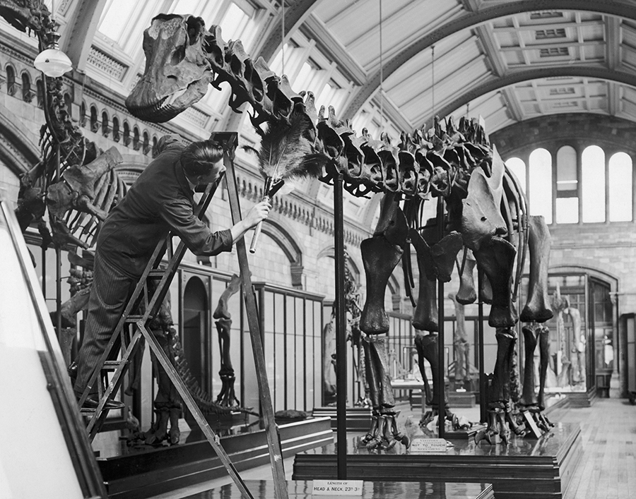 A cleaner dusts a cast of a Diplodocus skeleton at the Natural History Museum in London, 12th November 1936. The cast was made from the D. Carnegiei diplodocus at the Carnegie Museum of Natural History, Pittsburgh, and was presented to the London museum in 1905. (Photo by William Vanderson/Fox Photos/Hulton Archive/Getty Images)