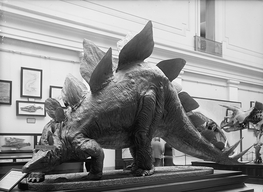 View of a model of a stegosaurus, labelled 'the Armored Dinosaur,' on display at the Smithsonian Institution, Washington DC, 1917. (Photo by Library of Congress/Interim Archives/Getty Images)