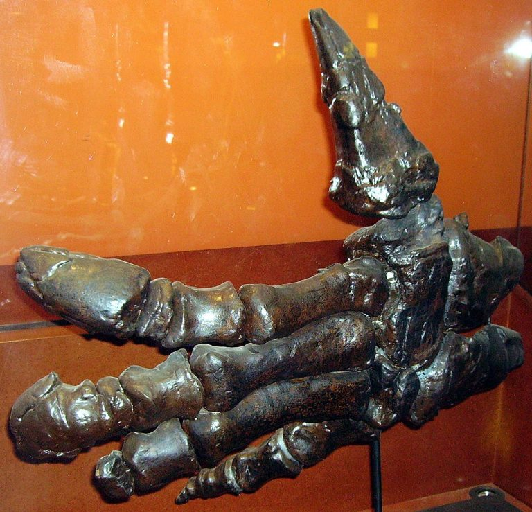 Hand of Iguanodon shown in the Natural History Museum. Credit to: Ballista.