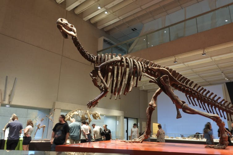 Here is a life-size skeleton of Muttaburrasaurus in the Queensland Museum. Muttaburrasaurus was a large, plant-eating dinosaur that lived in eastern Australia. Shutterstock