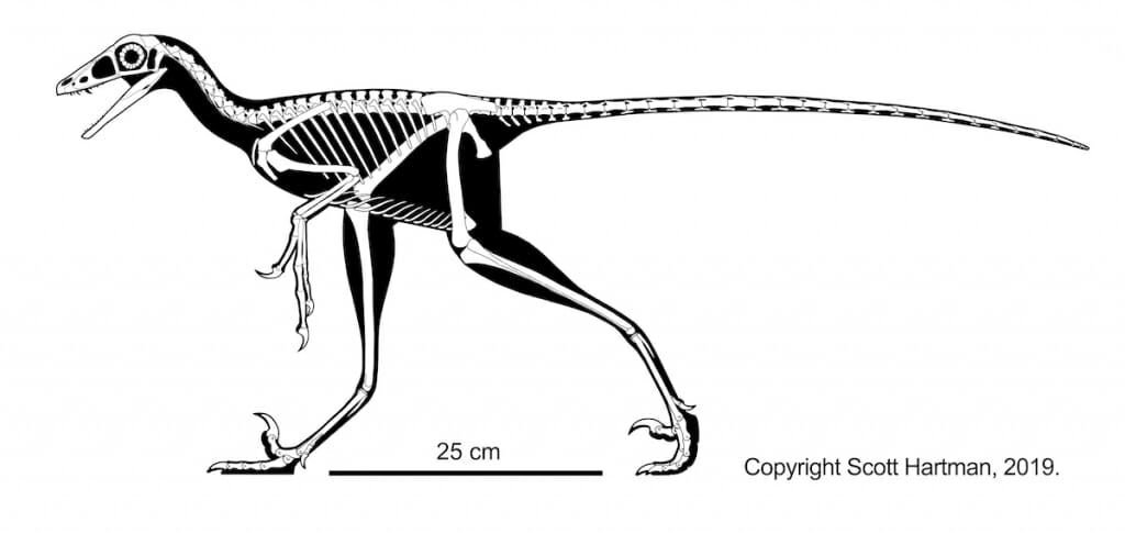 Hesperornithoides skeletal by Scott Hartman