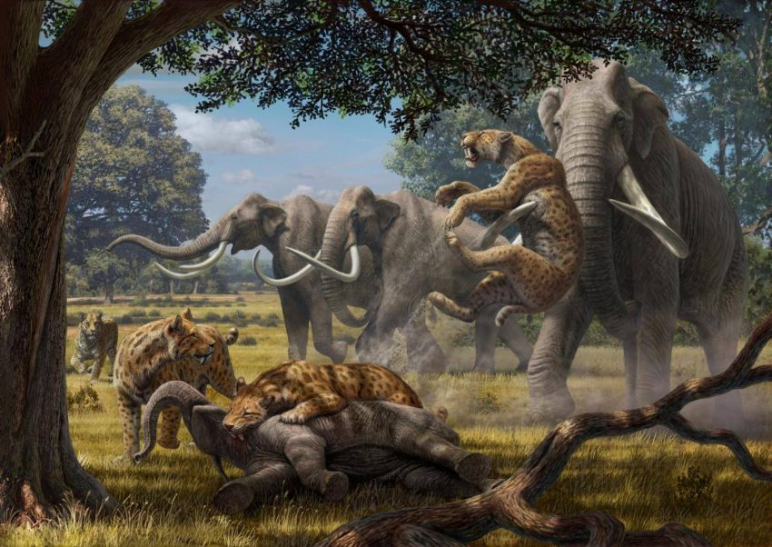 A pack of saber-tooth cats (Smilodon) fight with adult Colombian mammoths over a juvenile mammoth they've felled. A new analysis by a team of biologists concludes that 'hypercarnivores' such as these working in concert could have taken down juveniles of the largest herbivores. Credit: Mauricio Anton