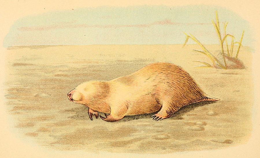 Illustration of a marsupial mole from Australia, which bears a striking resemblance to placental moles. (Illustration: Richard Lydekker)