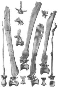 "Illustrations of the vertebrate ""sail"" bones of Spinosaurus that appeared in one of Stromer's monographs. Courtesy of Munich Museum of Paleontology"