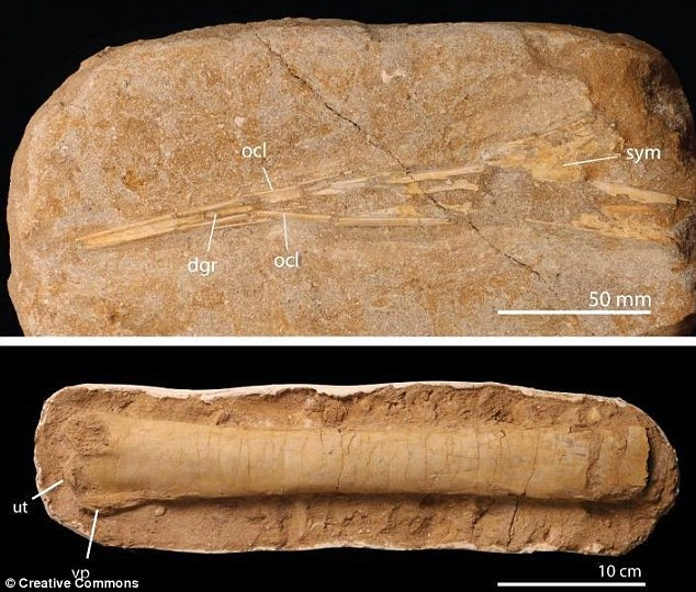 Image shows ulna (forearm) bones from two different pterosaur species - the larger one would have had a wingspan of around 10 metres. Photo: University of Bath/ pbio.2001663