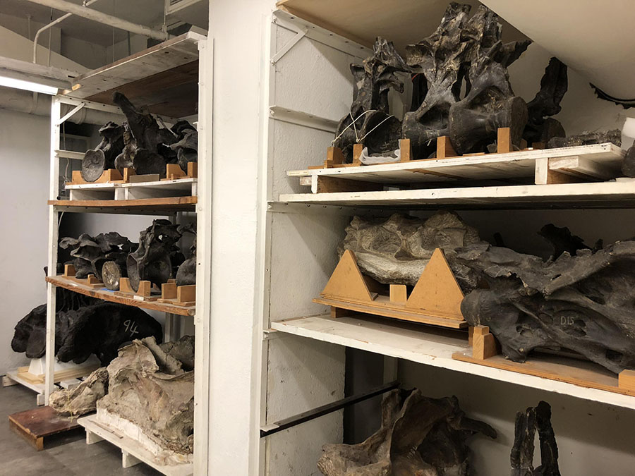In the Carnegie Museum of Natural History's Big Bone Room, large bones including vertebrae of Diplodocus carnegii are available for scientists to study. KATIE BLACKLEY / 90.5 WESA