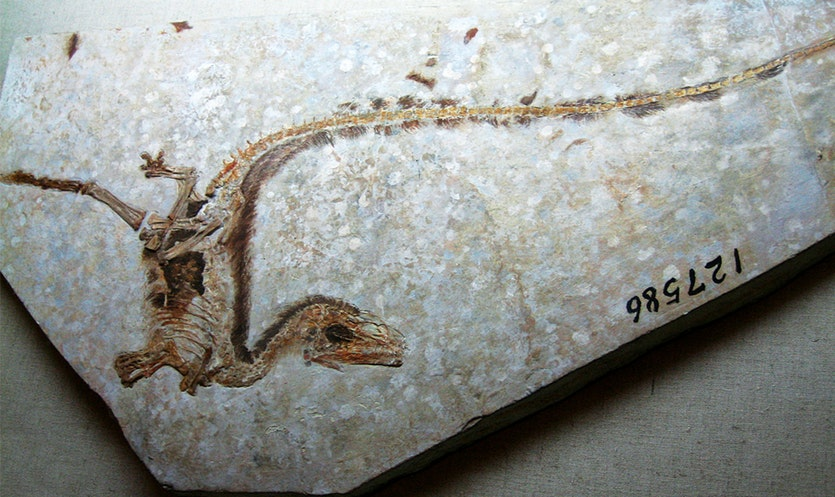 Incontrovertible evidence: the Sinosauropteryx fossil, discovered in Liaoning province in 1996, revealed a dinosaur covered in downy fuzz. CREDIT: NATURE