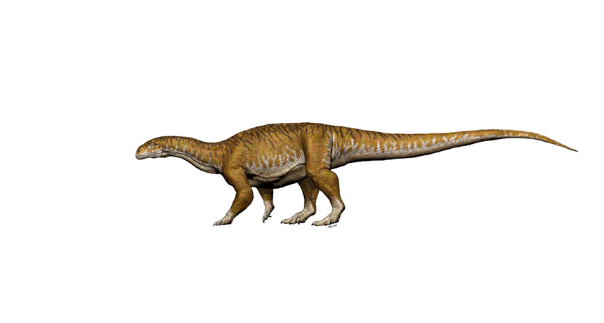 Some early relatives of giant long-necked sauropods may have used an unexpected biological approach to grow to such a large size. This illustration shows how a newly described species, called Ingentia prima, may have looked.  JORGE A. GONZÁLEZ
