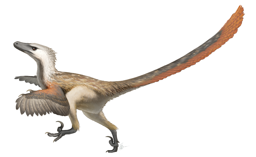 It seems most likely that Velociraptor had feathers on its whole body and not just its arms. This is an artist's impression of Velociraptor mongoliensis.  Fred Wierum/Wikimedia, CC BY
