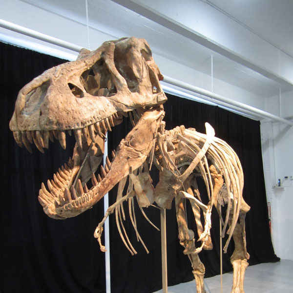 Just as this dinosaur specimen, a relative of Tyrannosaurus rex, went up for auction on May 20, a question arose as to whether or not it was taken illegally from Mongolia. Credit: Wynne Parry