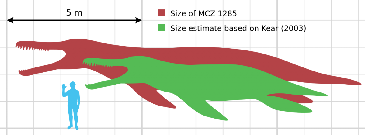 K. queenslandicus scale diagram, showing the size of the restored Harvard skeleton along with a more accurate estimate