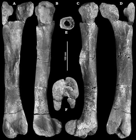 Left femur of cf. Iguanodontidae gen. et sp. indet. (Ornithischia, Ornithopoda), IGP MZHLZ/2003/1, in posterior (A), lateral (B), medial (C), ante− rior (D), and distal (F) views, with transverse cross−section through the femoral shaft (E).