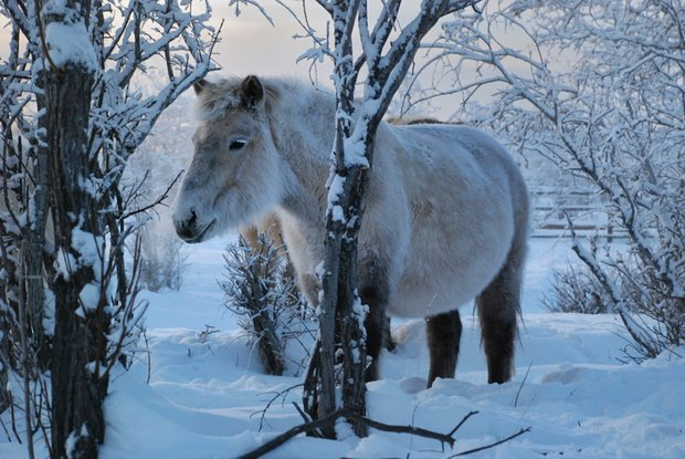MUMMY: A Yakut horse is one of the contenders to act as surrogate to the cloned creature (Pic: Getty)