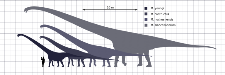 Mamenchisaurus Species Scale by Steveoc86