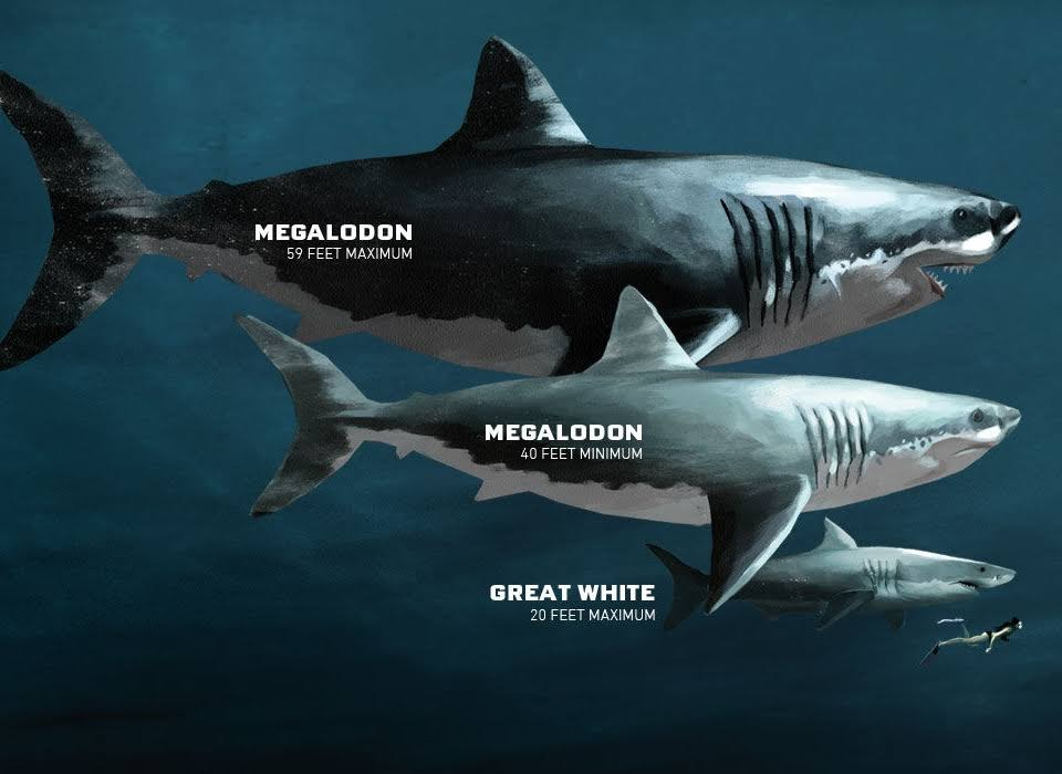 Megalodon Was Three Times As Long As The Largest Great White