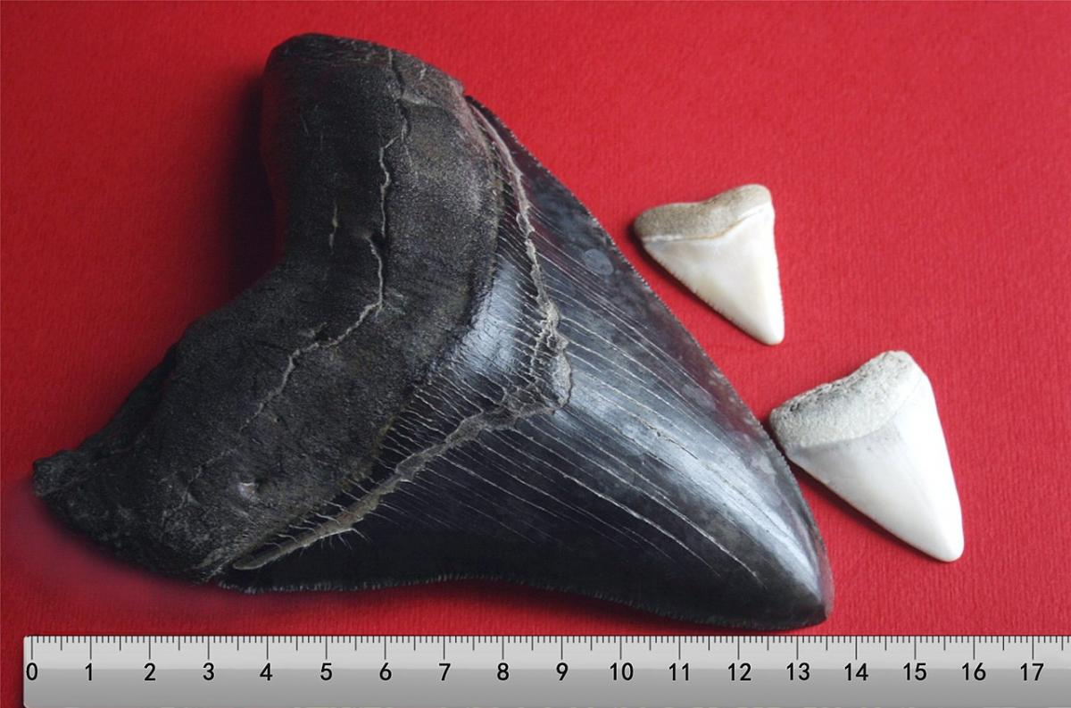 Megalodon tooth with two great white shark teeth