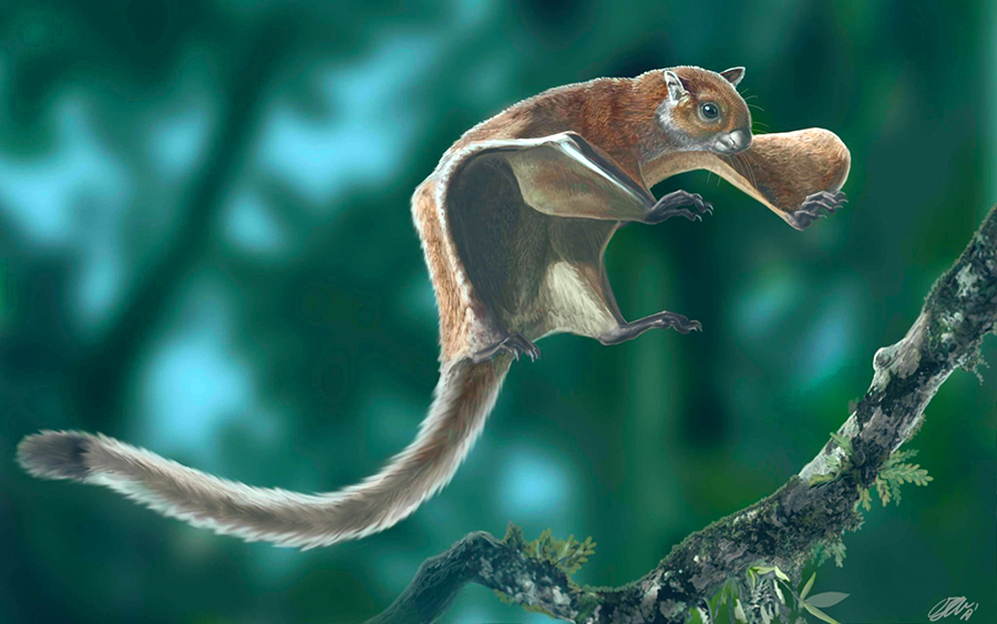 Life appearance of the fossil flying squirrel Miopetaurista neogrivensis showing the animal ready to land on a tree branch. Image credit: Oscar Sanisidro / ICP.