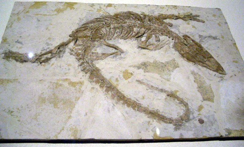 Monjurosuchus splendens fossil from the Yixian Formation. LAIKAYIU/CC BY-SA 3.0