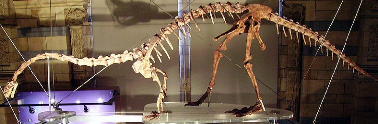 Mounted Massospondylus skeleton cast at the Natural History Museum, London, showing an outdated quadrupedal pose. Author: Ballista