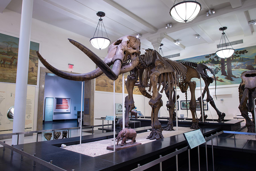 The Warren mastodon, which was the first complete American mastodon skeleton found in the United States, on display in the Paul and Irma Milstein Hall of Advanced Mammals at the American Museum of Natural History. Credit: D. Finnin/ © AMNH