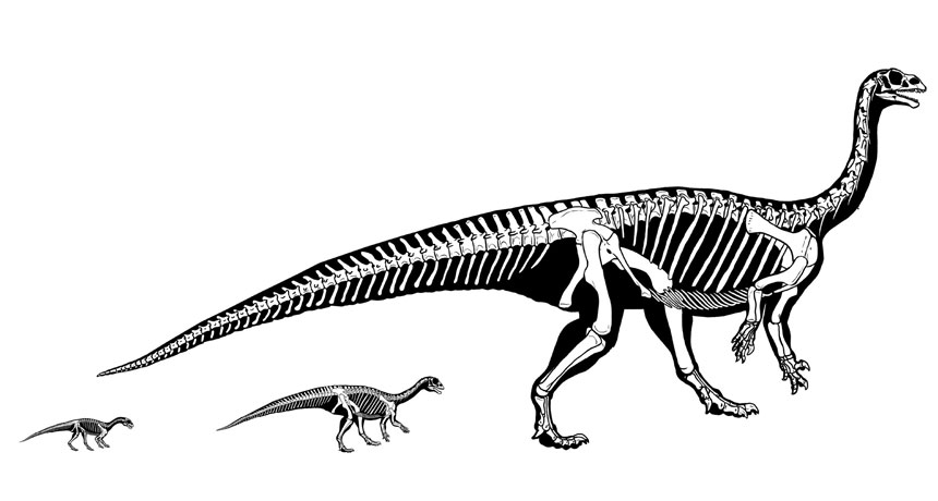 GROWING UP As Mussaurus patagonicus grew, the long-necked dinosaur's center of mass shifted back toward its hips and tail, letting it go from a four-legged to two-legged gait even as it ballooned from the size of a chick to that of a rhinoceros.  A. OTERO ET AL./SCIENTIFIC REPORTS 2019