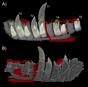 New Structures in the dentary of Megalosaurus bucklandii. A) Medial; B) Lateral.