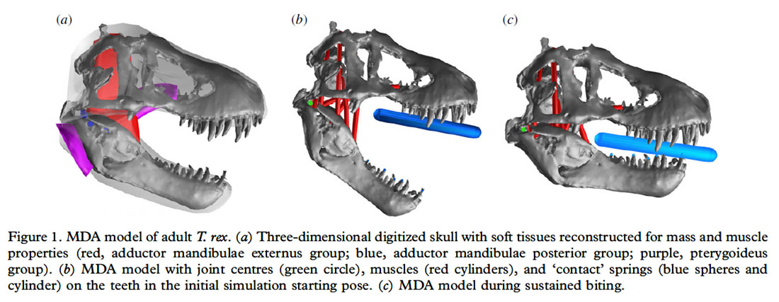 New research using computer models to reconstruct the jaw muscle of Tyrannosaurus rex, has suggested that the dinosaur had the most powerful bite of any living or extinct terrestrial animal.