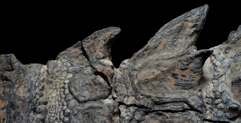 Nodosaur fossils close up ridges