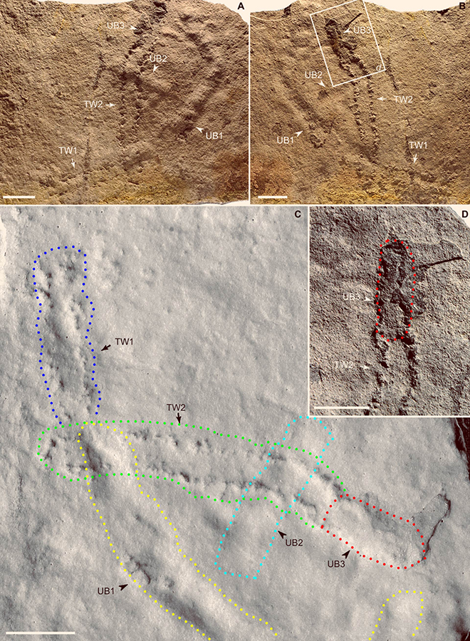 Trackways and burrows excavated in situ from the Shibantan Member, Dengying Formation, China: (A and B) epirelief (top bedding surface) and hyporelief (bottom bedding surface), respectively; trackways (TW1 and TW2) and undermat burrows (UB1 to UB3) are labeled; (C) latex mold of (B), with trackways and burrows marked and labeled; (D) enlargement of rectangle in (B), showing connection between TW2 and UB3 (marked). Scale bars – 2 cm. Image credit: Chen et al, doi: 10.1126/sciadv.aao6691.