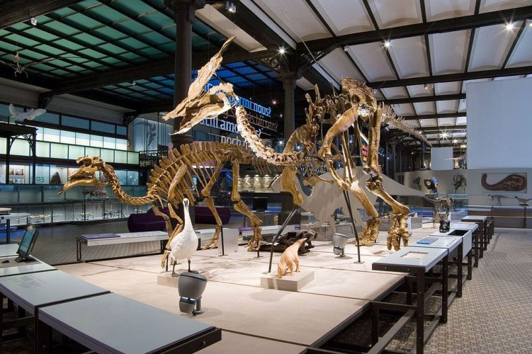 Olorotitan and Amurosaurus belong to the same group as the iguanodons. These two hadrosaurs were excavated by a team made up of our paleontologists and their Russian counterparts, in 2001 and 2003. Photo: Royal Belgian Institute of Natural Sciences