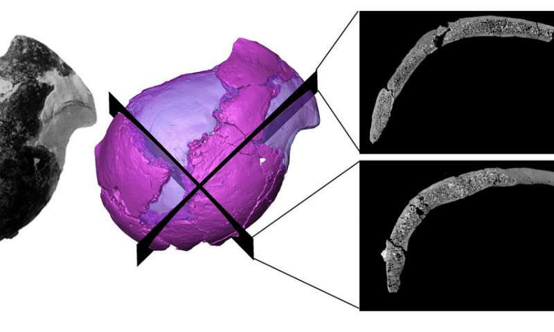 Original picture (left) and virtual rendering of the Jacovec cranium (middle) with two sections revealing the inner structure (right). Credit: Amelie Beaudet