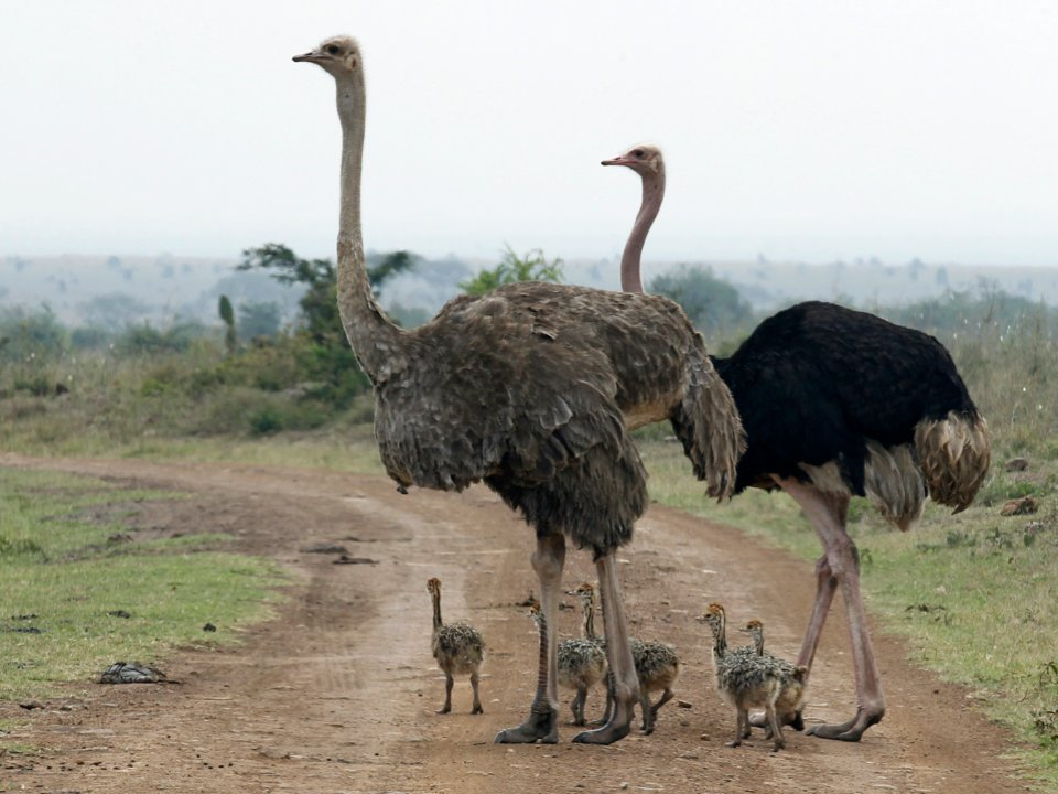 Ostriches crossing a road at the Nairobi National Park in Kenya. Thomas Mukoya/Reuters