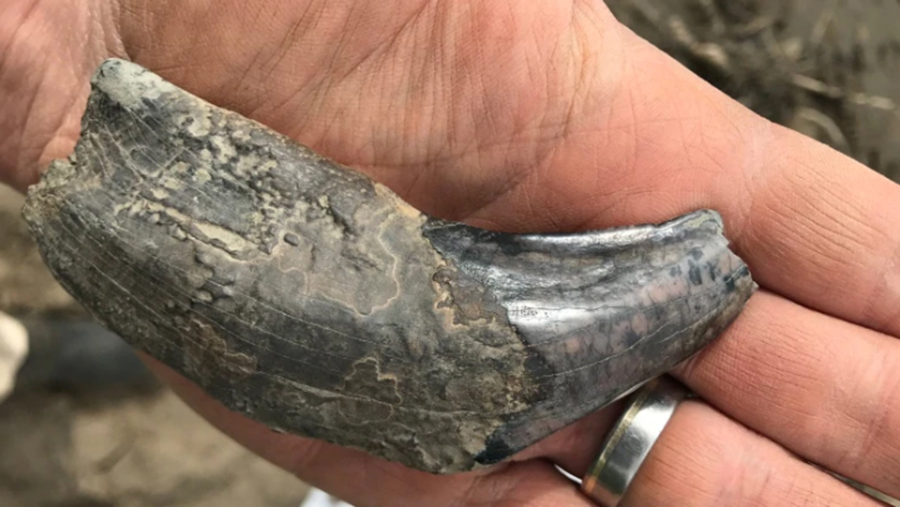 Paleontologist Grant Zazula says this may be the first lower fang of a scimitar cat ever found in Canada. (Grant Zazula/Yukon Government)
