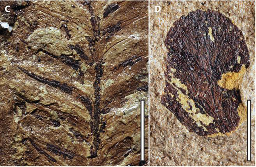 Paleontologists found these plant compression fossils in the Ferron Sandstone formation in Central Utah. N.A. JUD, UNIVERSITY OF FLORIDA