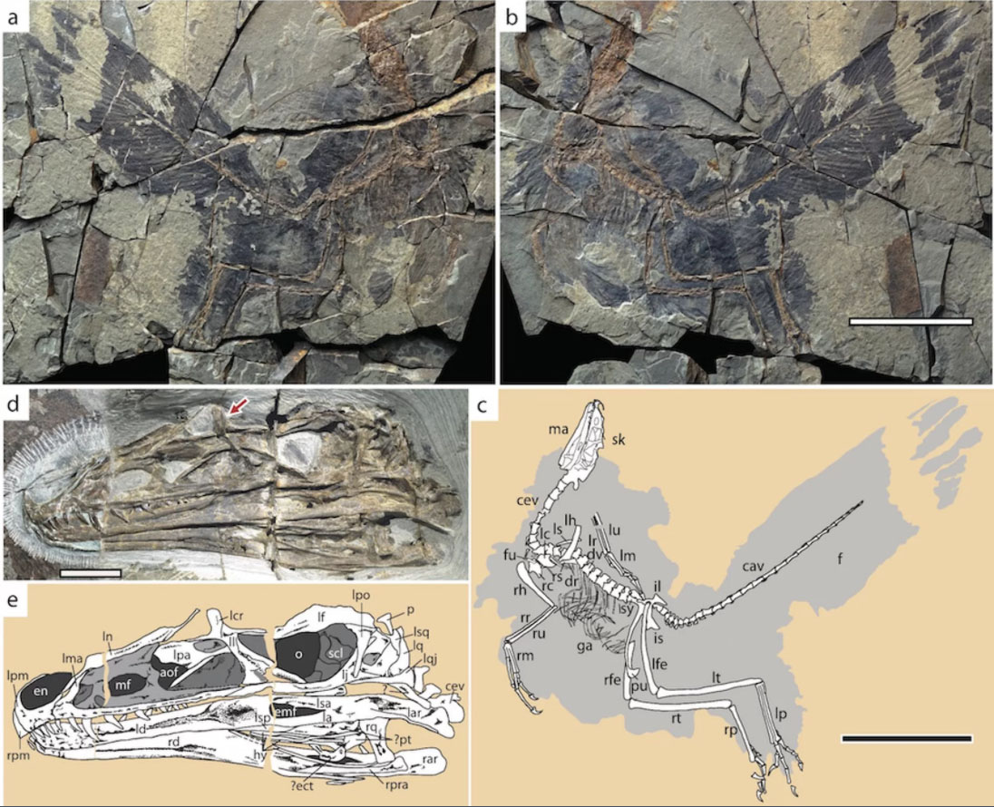 Photos and drawings of the incredibly detailed C. juji fossil. Credit: Yu et al., 2018