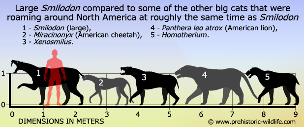 Pleistocene big cats of North America comparison by Prehistoric Wildlife 1 – Smilodon (large), 2 – Miracinonyx (American cheetah), 3 – Xenosmilus, 4 – Panthera leo atrox (American lion), 5 – Homotherium.