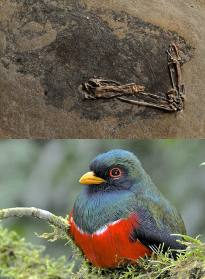 Primotrogon fossil (above) compared with its modern day equivalent, the Narina Trogon. Credit: Fossil: Jakob Vinther and Fiann Smithwick. Photograph: Daniel Field