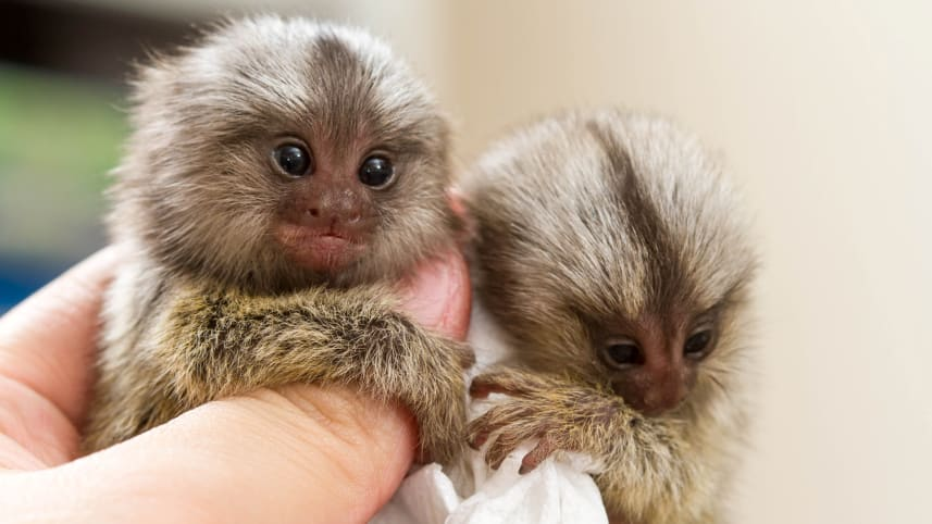 Pygmy marmosets, members of the Platyrrhini: The newly discovered fossil monkey may have been around this. CREDIT: size.bluedog studio / Shutterstock.co