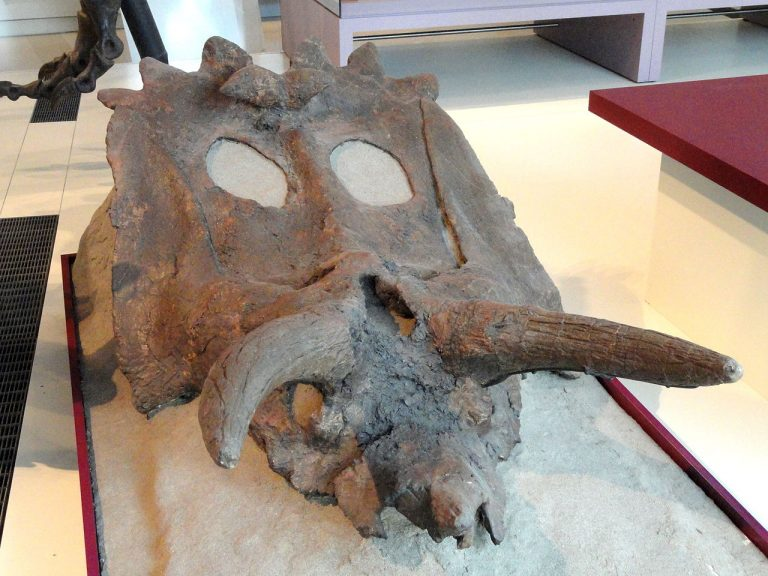 ROM 802, a skull in the Royal Ontario Museum by Daderot