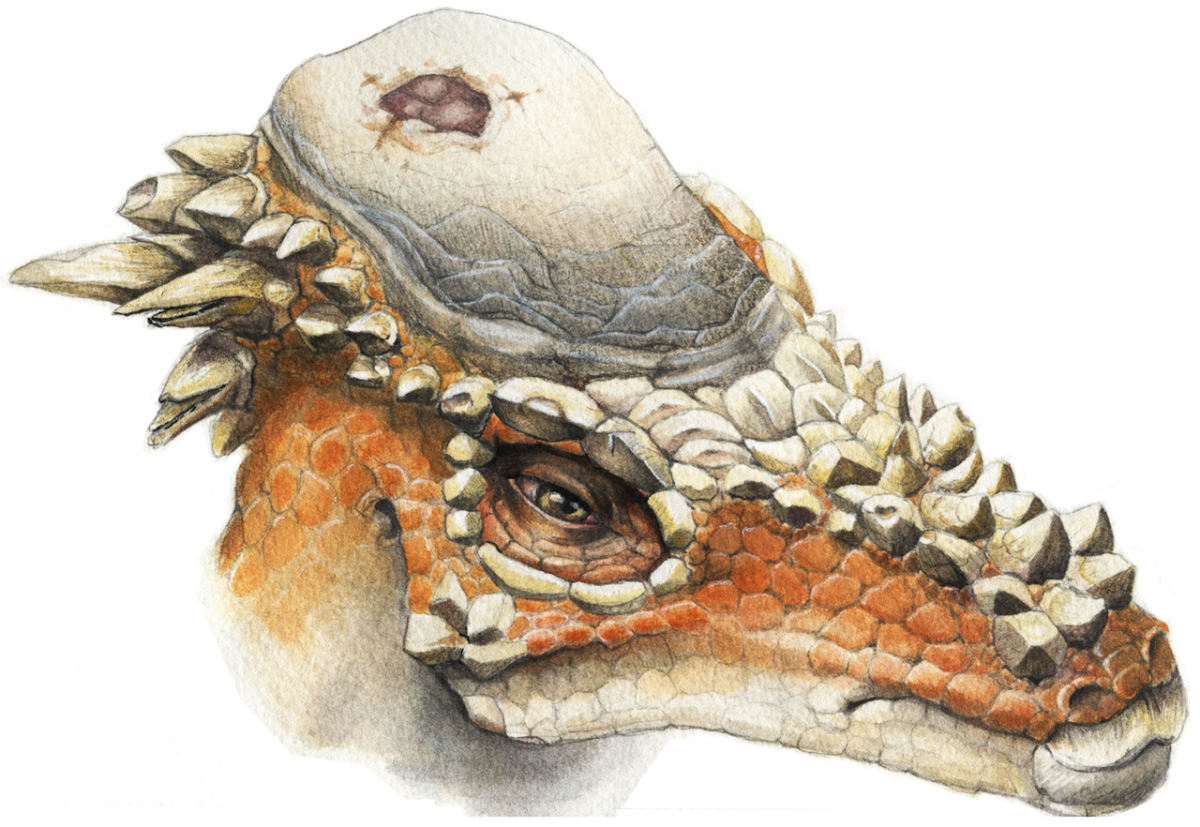 Reconstruction of Pachycephalosaurus wyomingensis with cranial lesion.