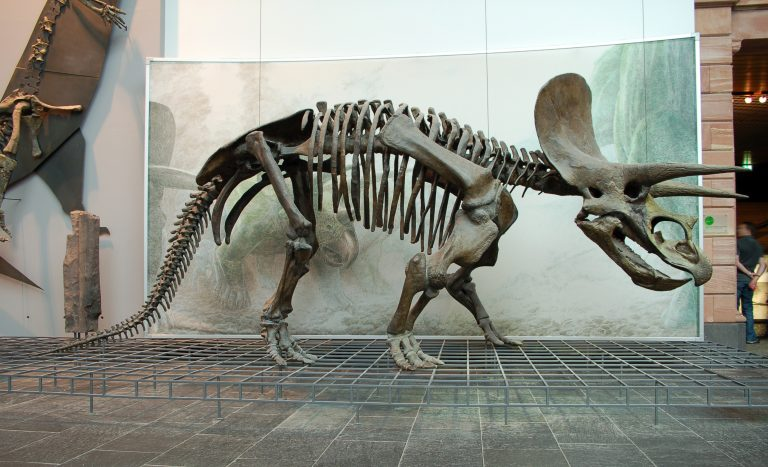 Reconstruction of a Triceratops skeleton in the Senckenberg Museum in Frankfurt am Main, assembled from fragments of different skeletons