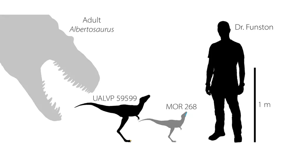 Researchers have found a toe claw (shown in yellow, second from left) and jawbone (shown in blue, third from left) of baby tyrannosaurs that lived between 75 million and 70 million years ago in North America. For scale, here are reconstructions of the tyrannosaur babies compared with an adult Albertosaurus tyrannosaur (left) and lead researcher Gregory Funston. (Image: © Gregory Funston 2020)