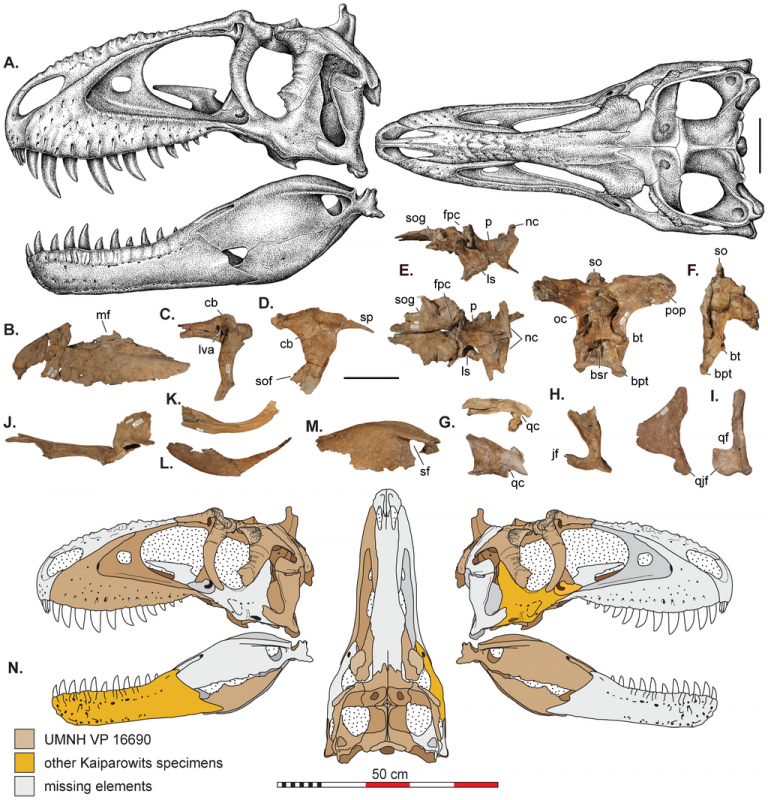 Restored skull and fossils Skull reconstructions and selected cranial elements of Teratophoneus curriei. These stippled reconstructions (A) are based on all available material. Some of the preserved elements of the referred specimen T. curriei (UMNH VP 16690) including: (B) left maxilla in lateral view, (C) both lacrimals superimposed and in lateral view; (D) photoreversed postorbital in lateral view; (E) frontals, parietals, and laterosphenoids in lateral and dorsal views; (F) braincase in caudal and lateral view; (G) squamosal in lateral and dorsal views; (H) quadratojugal in lateral view; (I) quadrate in lateral and caudal views; (J) left palatine in lateral view; (K) prearticular in left lateral view; (L) angular in left lateral view; (M) surangular in lateral view. Element recovery maps (N) of T. curriei (UMNH VP 16690) from which the reconstruction in A are derrived. Other Kaiparowits T. curriei specimens include two right jugals (UMNH VP 16691 & BYU 8120) and a left dentary from BYU 8120. Abbreviations: bpt, basipterygoid process; bt, basal tubera; bsr, basisphenoid recess; cb, cornual boss; fpc, frontoparietal midsagittal crest; jf, jugal flange of the quadrate; ls, laterosphenoid; lva, lacrimal vacuity; mf, maxillary fenestra; nc, nuchal crest; oc, occipital condyle; p, parietal; pop, paroccipital process; qc, quadrate cotylus; qf, quadrate foramen; sf, surangular foramen; so, supraoccipital; sof, suborbital flange; sog, supraorbital groove. All scale bars represent 10 cm except N which represents 50 cm.