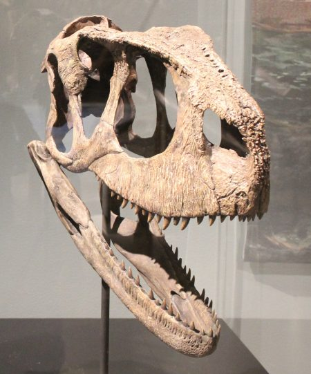 Rugops skull at the National Geographic Museum Spinosaurus Exhibit. Author: Ryan Somma