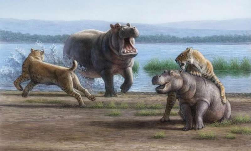 Saber-tooth cats (Smilodon) working together may have been capable of taking down juveniles of the largest Pleistocene herbivores, such as this young hippo, according to a new analysis appearing in the Proceedings of the National Academy of Sciences. Credit: Mauricio Anton