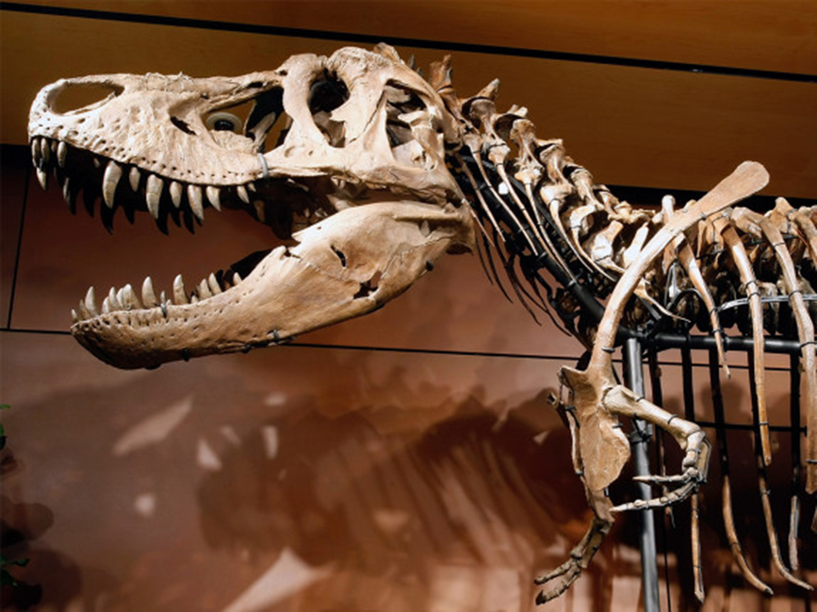 """Samson,"" one of the most complete Tyrannosaurus rex skeletons ever found, was auctioned off to a private buyer who has not made the fossil available to scientists or the public.	ETHAN MILLER / GETTY IMAGES"