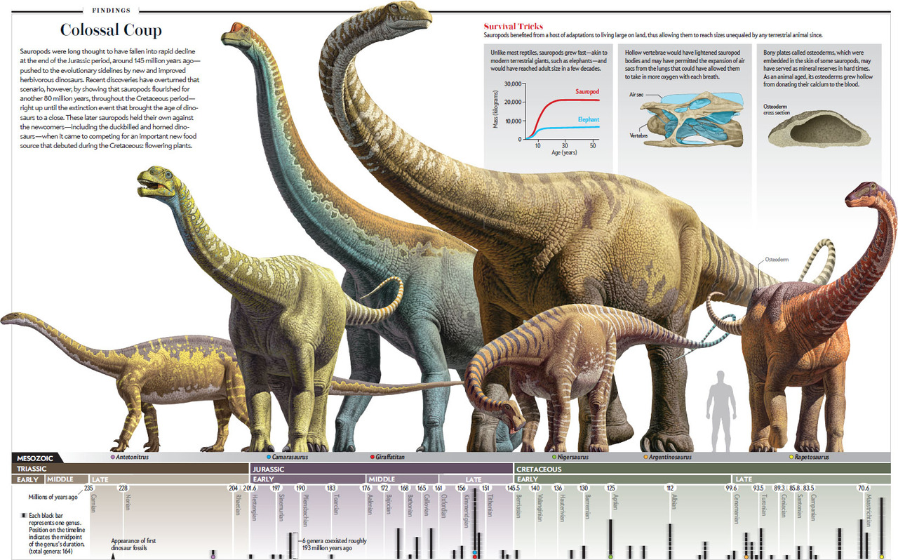 Paleontologists traditionally viewed the long-necked, small-brained giant dinosaurs referred to as sauropods as doomed creatures unfit for life on land or in the water. Recent discoveries have upended that scenario, revealing that sauropods prospered for nearly 150 million years. The secrets of their success seem to have been their mix of mammal-like and reptile-like traits, combined with an ability to adapt to a changing world. (Illustrations by Raúl Martin, Graphics by Jen Christiansen)