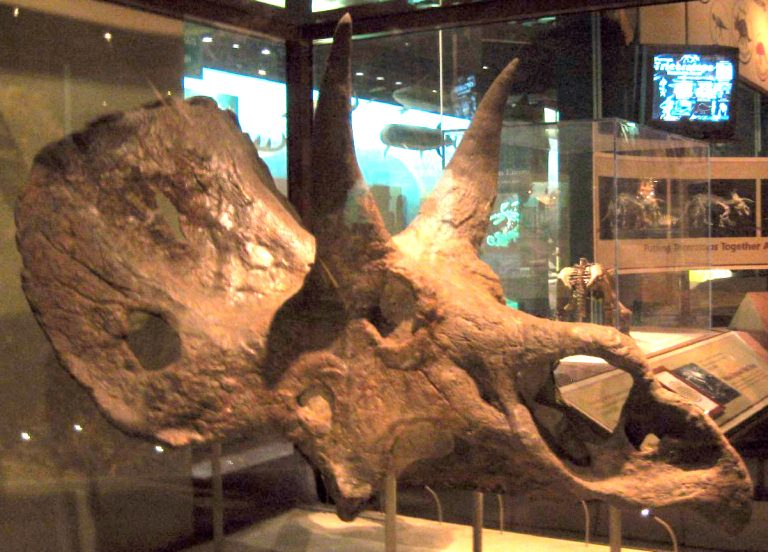 Scanella & Horner saw Nedoceratops as an ontogenetic transitional form between Triceratops and Torosaurus