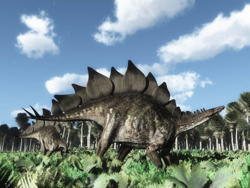 Scientists said despite the limited number of fossils they had to work with, the specimens were sufficient for them to identify them as belonging to a new species of stegosaur ( Getty )