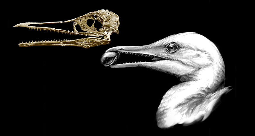 Scientists used fossils of an ancient toothed bird (illustrated at right) to make a 3-D reconstruction of its skull (left). They discovered the animal had a small beak at the tip of its snout.  MICHAEL HANSON AND B.-A. BHULLAR